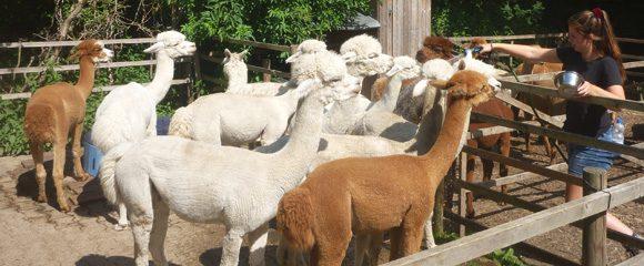 Castrop-Rauxel: Trekking mit Alpakas